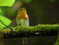 Robin at Golitha Falls